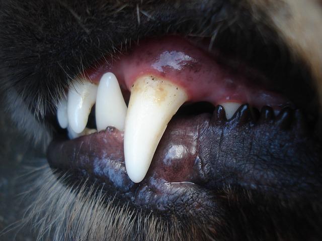 zuby psa